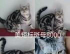 出售自家美短加菲渐层8只猫咪