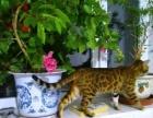 纯种孟加拉豹猫出售。