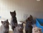 出售英短美短幼猫,美短标斑种公/英短净梵种公借配