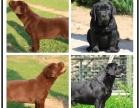 拉布拉多较优秀的家庭伴侣犬 性格温顺协议售保