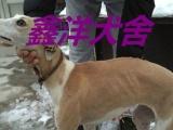 鑫洋犬舍常年出售猎兔专用狗