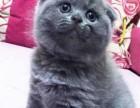 广州哪里有卖英短蓝猫价格多少 英短蓝猫多少钱 包健康纯种