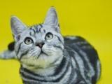 出售英短短毛猫美短