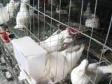 养殖鸽子常年供应观赏鸽 鸽子蛋主要经营白羽王种