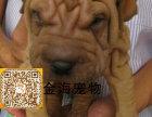 宠物狗纯种沙皮活泼可爱疫苗驱虫已做齐全包健康签协议