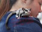 便宜批发出售蜜袋鼯小蜜澳洲鼯鼠飞鼠包邮招代理