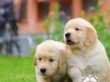 赚赚赚!狗场直销一出售纯种金毛幼犬一包养活一签合同一送用品
