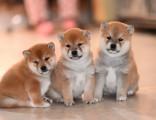 临沂哪里有柴犬出售豆柴多少钱一只柴犬掉毛吗日本柴犬 小柴犬
