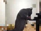 转让两只纯正血统的英短蓝猫
