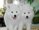 卖健康宠物 好养是硬道理 精品萨摩耶犬 90天包退换