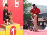 杭州训犬训狗宠物犬拍广告拍摄电影电视剧