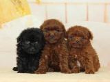 纯种泰迪犬 欢迎上门 送全狗用品 健康签协议