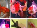 淘宝店铺搜 晶艺水族世界 和热带鱼林世界各种冷水鱼