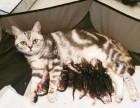 實拍圖 蘇格蘭折耳貓美國短毛貓虎斑貓幼崽