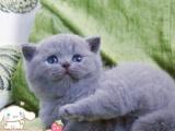 专业繁育英短蓝猫蓝白疫苗驱虫已做可送上门挑选