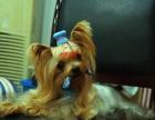 华岩宠物市场纯种约克夏对外配种及幼犬出售