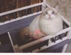 成都什么地方有猫舍出售布偶猫 成都布偶猫售价多少