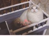 厦门哪里有卖布偶猫 厦门买布偶猫到哪里好