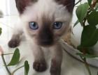哪里出售纯种暹罗猫纯种暹罗猫多少钱一只