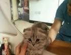 自家猫生的折耳宝宝