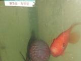 罗汉鱼及财神