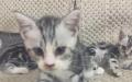美短精品银虎斑猫纯种品相保健康赛级品质二公二母