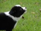 苏州纯种七白到位边境牧羊犬边牧幼犬疫苗驱虫已做包健康