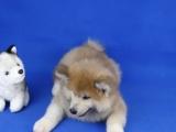 出售秋田幼犬 品相完美 血统纯正健康质保签订协议