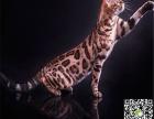 最棒的豹猫幼犬在这 他们都选这家 精品虎斑 有口皆碑