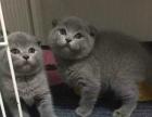 英国短毛折耳蓝猫