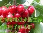 2016年樱桃采摘火热进园中