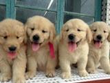 成都出售 纯种金毛幼犬 疫苗齐全出售中 可签协议健康保障