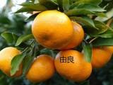 湖北柑橘苗哪里有卖 甜葡萄柚苗 品种多 质量好