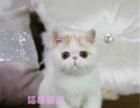 异国短毛猫宠物猫加菲猫红白梵纹红虎斑幼猫纯种家养