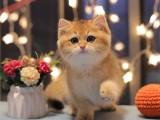 栖霞CFA认证 双注册猫舍 多年老店 品质保障 终身售后