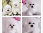 哪里有卖超可爱小体 卷毛比熊 幼犬 保证健康