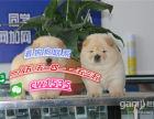 正品松狮犬幼犬出售大骨量松狮宝宝憨厚松狮幼崽纯种活体宠物狗狗