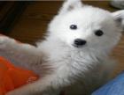 纯种 银狐幼犬 喜欢的朋友赶紧预定了