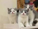 出售英短 银渐层 蓝猫 美短 起司 标斑布偶猫