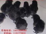 特种养殖高产五黑一绿乌鸡苗 乌鸡苗批发厂家直销包打疫苗