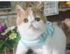 加菲猫宠物猫活体加菲猫纯种幼猫加菲猫蓝白幼猫纯种加