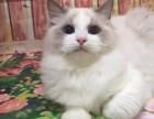 重庆哪里卖布偶猫 重庆布偶猫的价格是多少 重庆纯种布偶多少钱