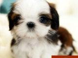 纯种西施犬哪里有有 西施犬舍哪里有 西施犬多少钱