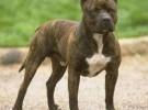 纯种血统比特犬个人养殖对外出售价格低