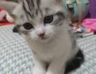 济南哪里有美短猫虎斑加白卖 纯血统 萌翻你的眼球 品质保障