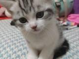 厦门哪里有美短猫虎斑加白卖 纯血统 萌翻你的眼球 品质保障