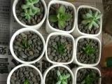 自家养殖的多肉植物