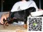 在哪里买纯种的杜宾幼犬 杜宾幼犬最低多少钱