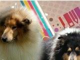 两窝家养英系苏牧幼犬出售~~(可视频看狗)
