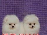 佛山禅城博美宠物店,出售白色博美,棕色博美宠物狗